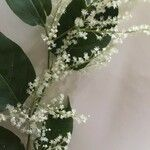 Poranopsis paniculata