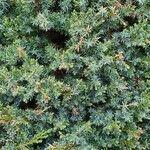 Juniperus communis 葉