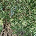 Olea europaea Leaf