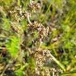 Gamochaeta purpurea