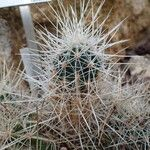 Echinocereus stramineus