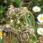 Tordylium aegyptiacum