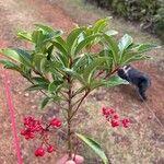Ardisia crenata Leaf