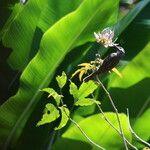 Arthroclianthus maximus