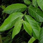 Forsteronia myriantha