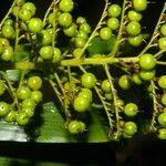 Calliandra brenesii