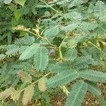 Neptunia plena Leaf