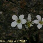 Saxifraga corsica
