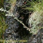 Artemisia nitida