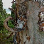 Pinus gerardiana