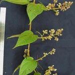 Mikania banisteriae