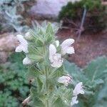 Salvia tingitana