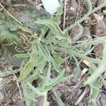 Andryala integrifolia Leaf