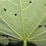 Calliandra rubescens