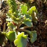 Umbilicus rupestris Feuille