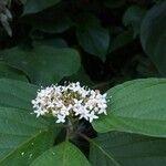 Cornus sericea subsp. occidentalis