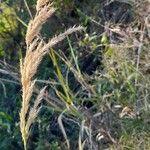 Calamagrostis