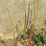 Amaranthus palmeri