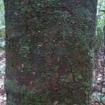 Batocarpus