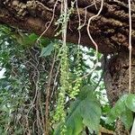 Columnea oerstediana