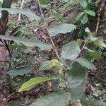 Ficus barclayana