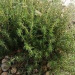 Thymus vulgaris Levél