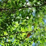 Magnolia dodecapetala