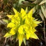 Euphorbia macroclada