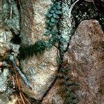 Asplenium bradleyi