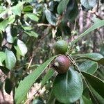 Psidium cattleianum Fruit
