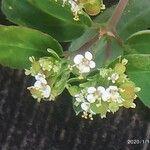 Euphorbia nutans