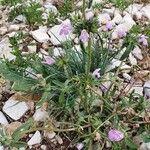 Galeopsis angustifolia Blomma