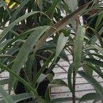 Ficus spp.