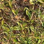 Ophioglossum lusitanicum