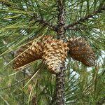 Pinus attenuata