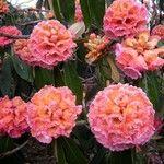 Rhododendron lanigerum
