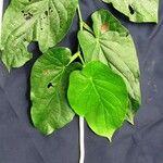 Piper pseudofimbriulatum