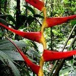 Heliconia sarapiquensis