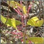 Agelanthus zizyphifolius