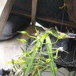 Epidendrum lacertinum