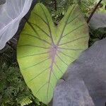 Colocasia esculenta 葉