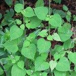 Salvia lasiocephala