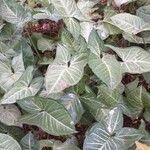 Syngonium podophyllum Liść