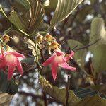 Dipterocarpus obtusifolius