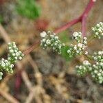 Corrigiola telephiifolia