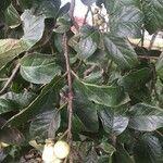 Ehretia latifolia