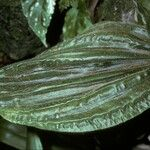 Pilophyllum
