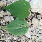 Abutilon trisulcatum