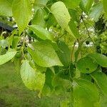 Celtis sinensis 葉