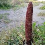 Cynomoriaceae